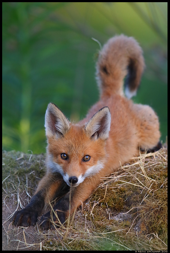 Rebane, Red Fox, Vulpes vulpes rebasekutsikas red fox cub   Remo Savisaar Eesti loodus Estonian Estonia Baltic nature wildlife photography photo blog loodusfotod loodusfoto looduspilt looduspildid landscape nature wild wildlife nordic