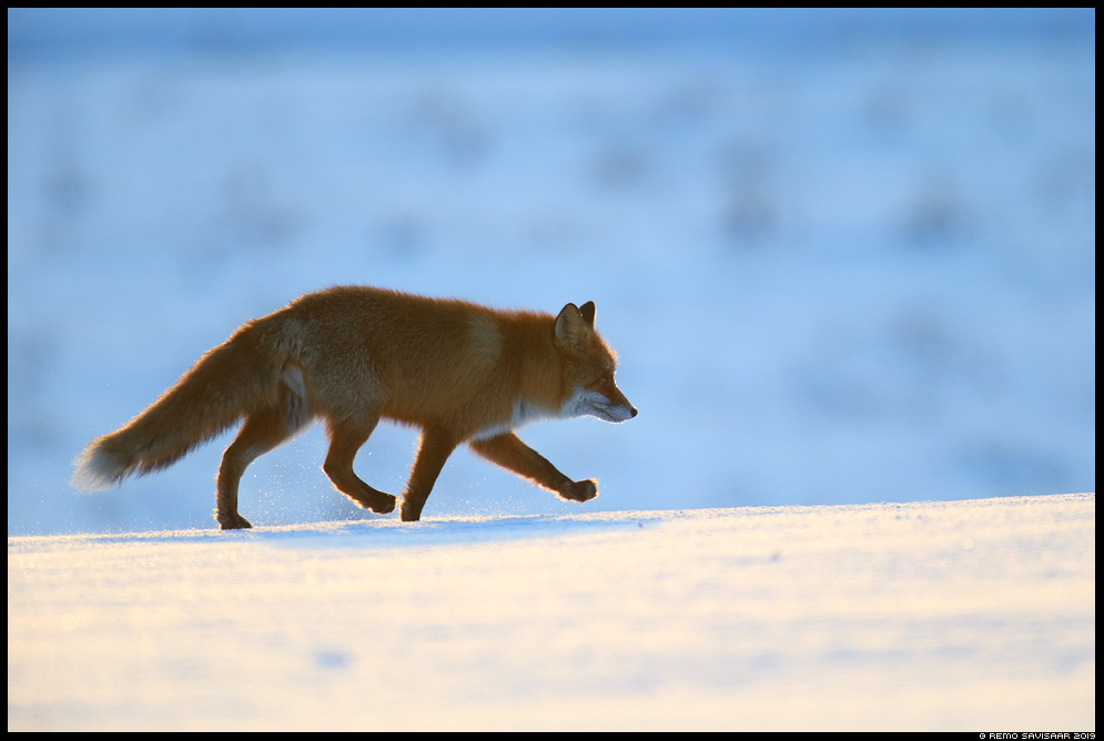 Rebane, Red Fox, Vulpes vulpes tartumaa vooremaa jooksuaeg  Remo Savisaar Eesti loodus Estonian Estonia Baltic nature wildlife photography photo blog loodusfotod loodusfoto looduspilt looduspildid landscape nature wild wildlife nordic