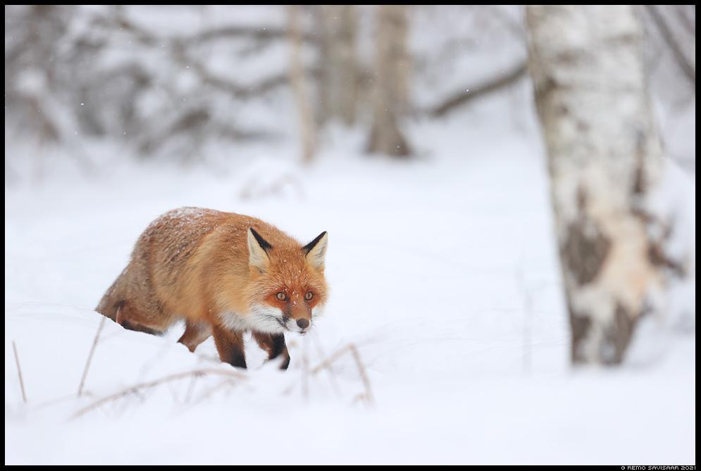 Rebane, Red Fox, Vulpes vulpes Remo Savisaar Eesti loodus Estonian Estonia Baltic nature wildlife photography photo blog loodusfotod loodusfoto looduspilt looduspildid landscape nature wild wildlife nordic