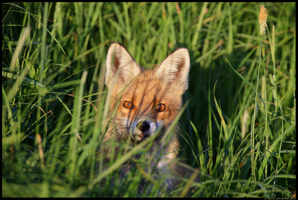 Rebane, Red Fox, Vulpes vulpes Rebaseema, Mother fox animal heinamaa meadow Remo Savisaar Eesti loodus  Estonian Estonia Baltic nature wildlife photography photo blog loodusfotod loodusfoto looduspilt looduspildid