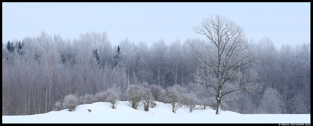 Rebane, Red Fox, Vulpes vulpes, härmatis, härmas, külm, talv, lumi, maastik, estonia, nature, wildlife
