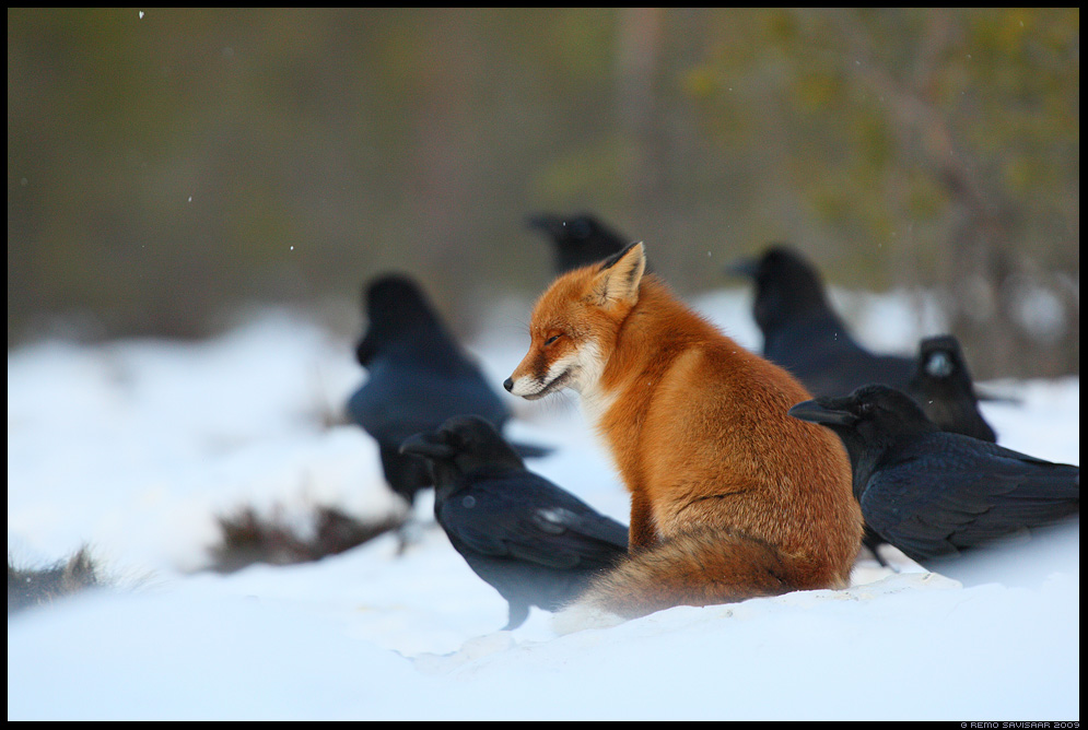 Rebane, Red Fox, Vulpes vulpes, Ronk, Raven, Corvus corax armastus