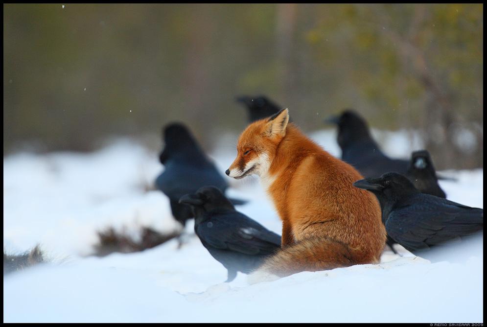 Rebane, Red Fox, Vulpes vulpes, Ronk, Raven, Corvus corax