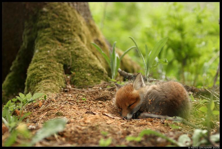 Rebane, Red Fox, Vulpes vulpes, rebasekutsikas,  magab, magamas, sleep, sleeping, rebase laps