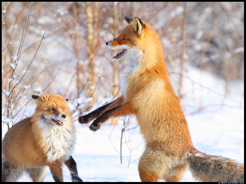 Rebane, Red Fox, Vulpes vulpes jooksuaeg mating season kaklus kaklemas fighting Remo Savisaar Eesti loodus Estonian Estonia Baltic nature wildlife photography photo blog loodusfotod loodusfoto looduspilt looduspildid