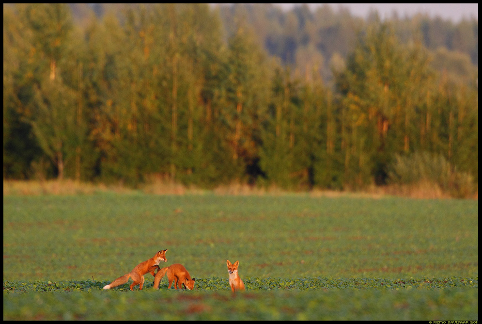 Rebane, Rebasekutsikas, rebasekutsikad, Noored kutid, Young fellas, Red Fox, Red fox puppy, red fox cub, Vulpes vulpes, põld