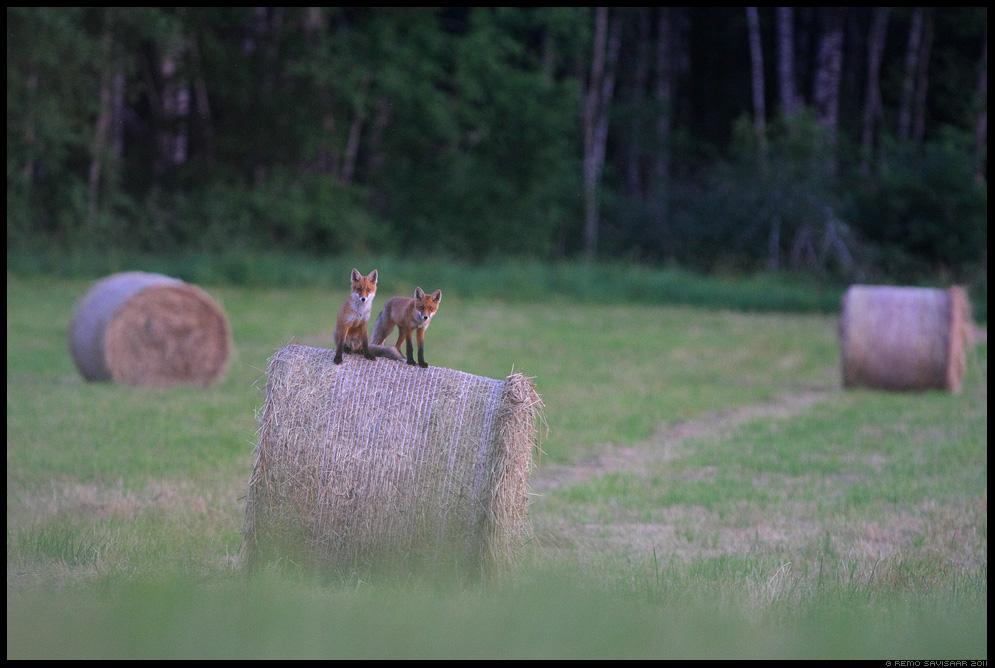 Rebane, Rebasekutsikas, rebasekutsikad, Noored kutid, Young fellas, Red Fox, Red fox puppy, red fox cub, Vulpes vulpes, heinamaa, heinapall, heinapallid