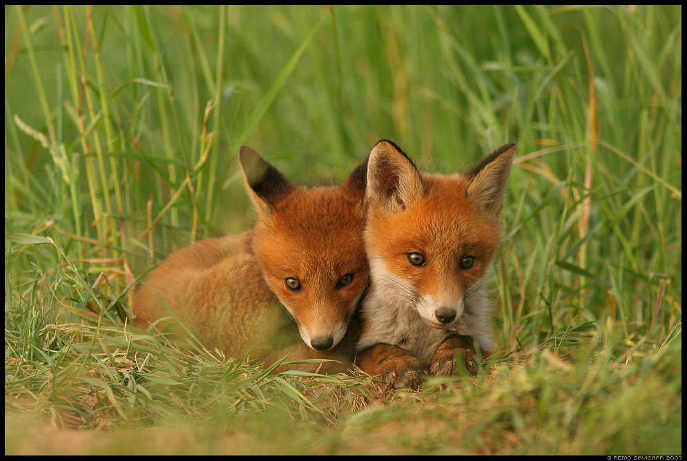Sõbrad, Friends, Rebane, Red Fox, Vulpes vulpes, rebasekutsikas, red fox kit, Rebasekutsikad, Red fox kits