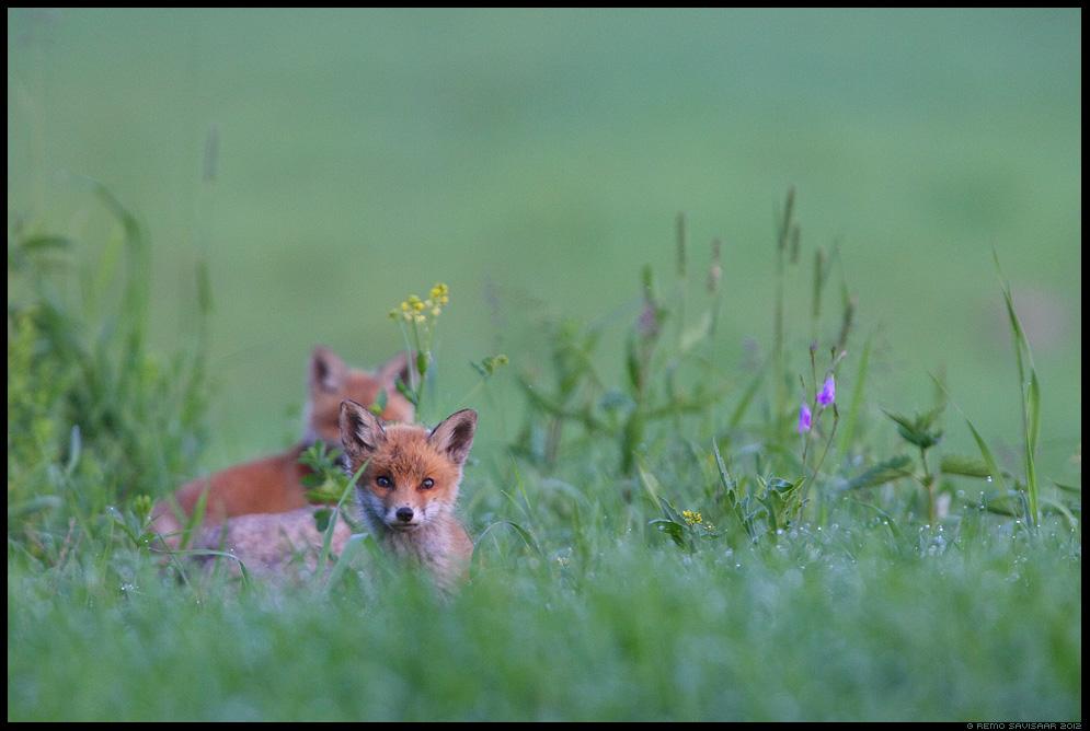 Rebane, Rebasekutsikas, Red Fox, Vulpes vulpes, Eesti, Loodus, nature, Estonia, wildlife, kastemärg, dew, loomalapsed