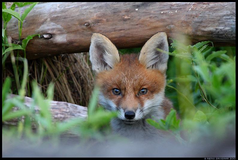 Rebasekutsikas, Rebane, Red Fox, Vulpes vulpes