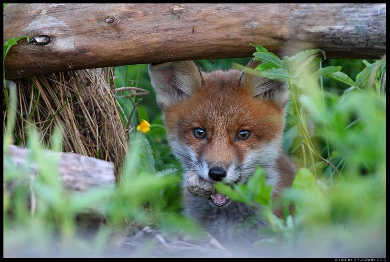 Rebasekutsikas, Red Fox, Vulpes vulpes