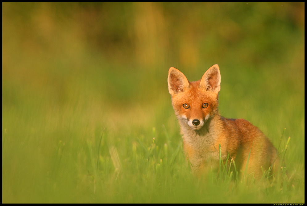 Rebane, Rebasekutsikas, rebasekutsikad, Noored kutid, Young fellas, Red Fox, Red fox puppy, red fox cub, Vulpes vulpes, Rebasenooruk