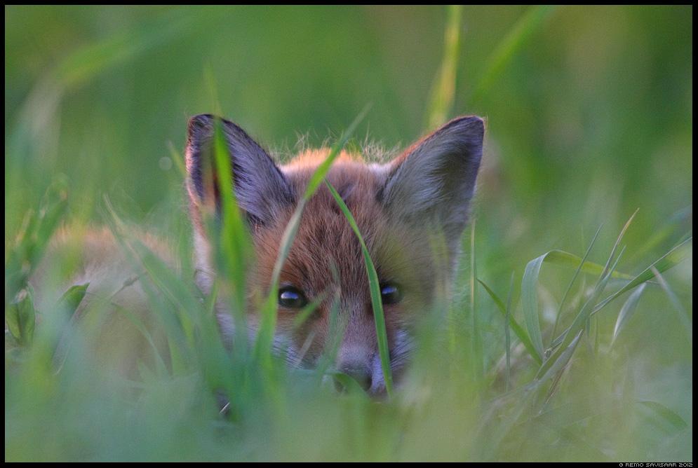 Rebane, Rebasekutsikas, Red Fox, Vulpes vulpes, Eesti, Loodus, nature, Estonia, wildlife, loomalaps