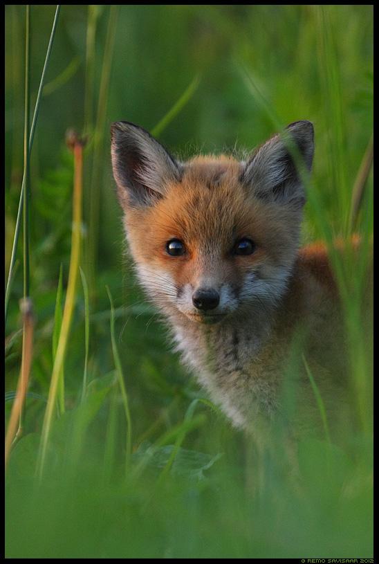 Noor ilmakodanik - Rebasekutsikas, Rebane, Red Fox kit, Vulpes vulpes, loomalaps, baby, puppy, june, juuni, portree, portrait