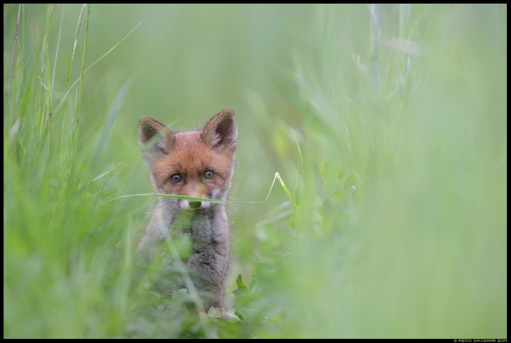 Rebane, Red Fox, Vulpes vulpes Rebasekutsikas, Red Fox kit Remo Savisaar Eesti loodus  Estonian Estonia Baltic nature wildlife photography photo blog loodusfotod loodusfoto looduspilt looduspildid