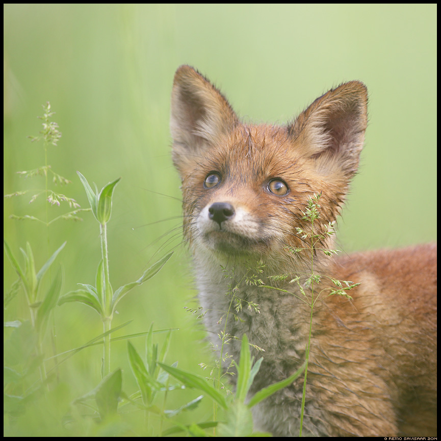 Rebane, Red Fox, Vulpes vulpes Rebasekutsikas, Red Fox kit Unistaja, Dreamer Remo Savisaar Eesti loodus  Estonian Estonia Baltic nature wildlife photography photo blog loodusfotod loodusfoto looduspilt looduspildid