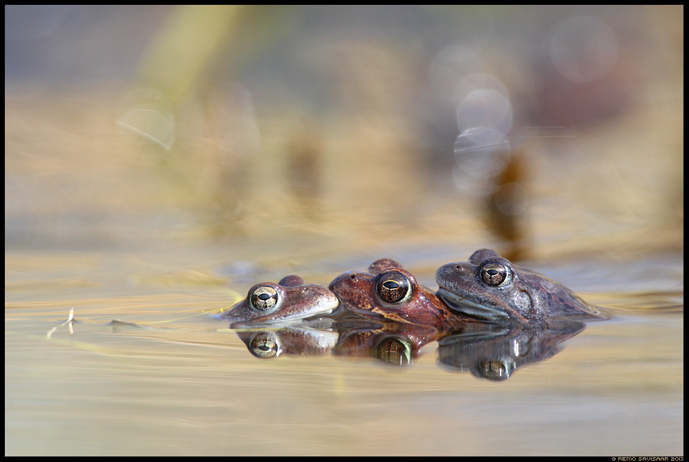 Rohukonn, Common frog, Rana temporaria  Spring kevad lumi  armastus Remo Savisaar Eesti loodus Estonian Estonia Baltic nature wildlife photography photo blog loodusfotod loodusfoto looduspilt looduspildid