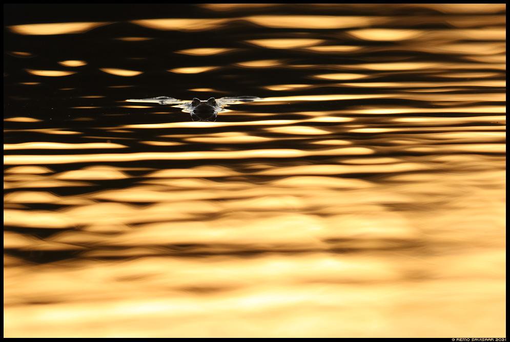 Rohukonn, Common frog, Rana temporaria Remo Savisaar Eesti loodus Estonian Estonia Baltic nature wildlife photography photo blog loodusfotod loodusfoto looduspilt looduspildid