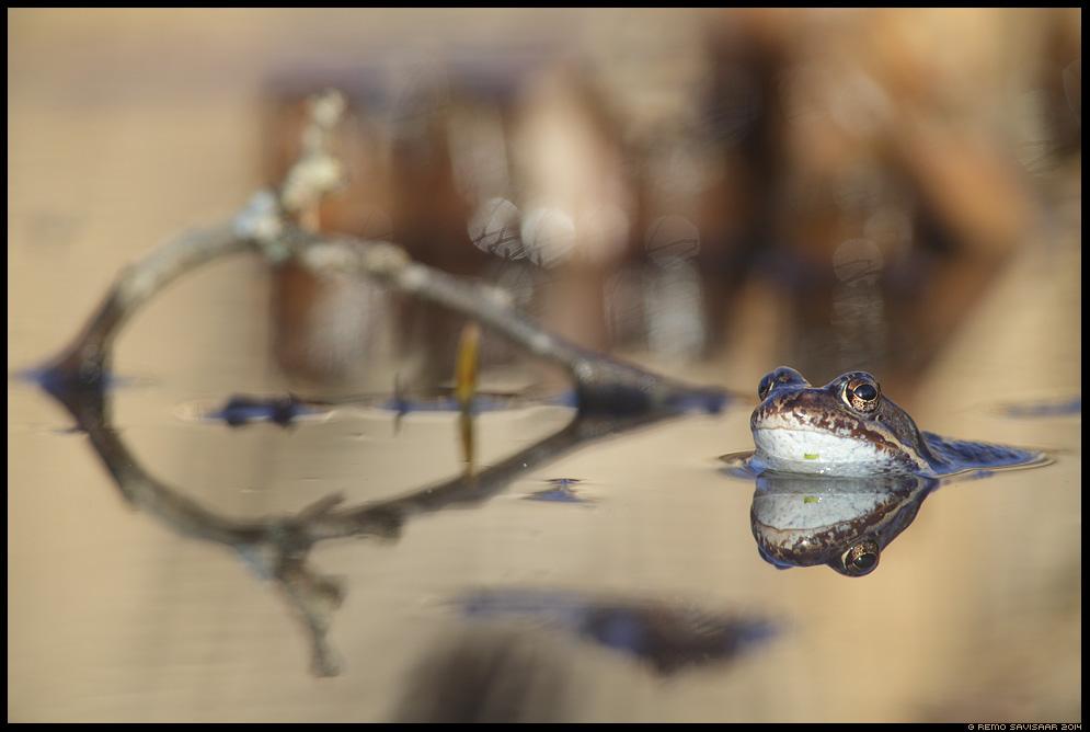 Rohukonn, Common frog, Rana temporaria  Spring kevad lumi Remo Savisaar Eesti loodus Estonian Estonia Baltic nature wildlife photography photo blog loodusfotod loodusfoto looduspilt looduspildid