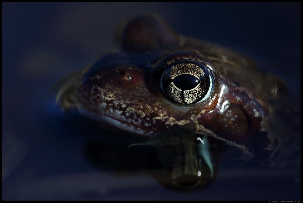 Rohukonn, Common frog, Rana temporaria  Spring kevad Remo Savisaar Eesti loodus Estonian Estonia Baltic nature wildlife photography photo blog loodusfotod loodusfoto looduspilt looduspildid