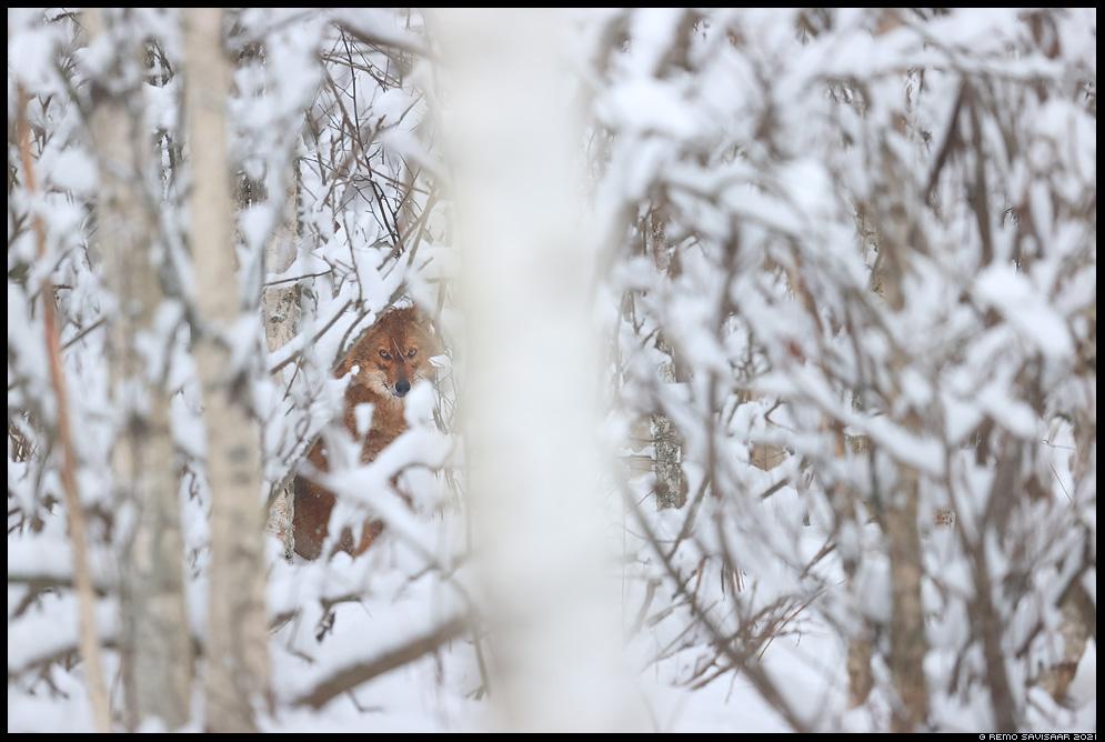 šaakal, golden jackal, Canis aureus Remo Savisaar Eesti loodus  Estonian Estonia Baltic nature wildlife photography photo blog loodusfotod loodusfoto looduspilt looduspildid