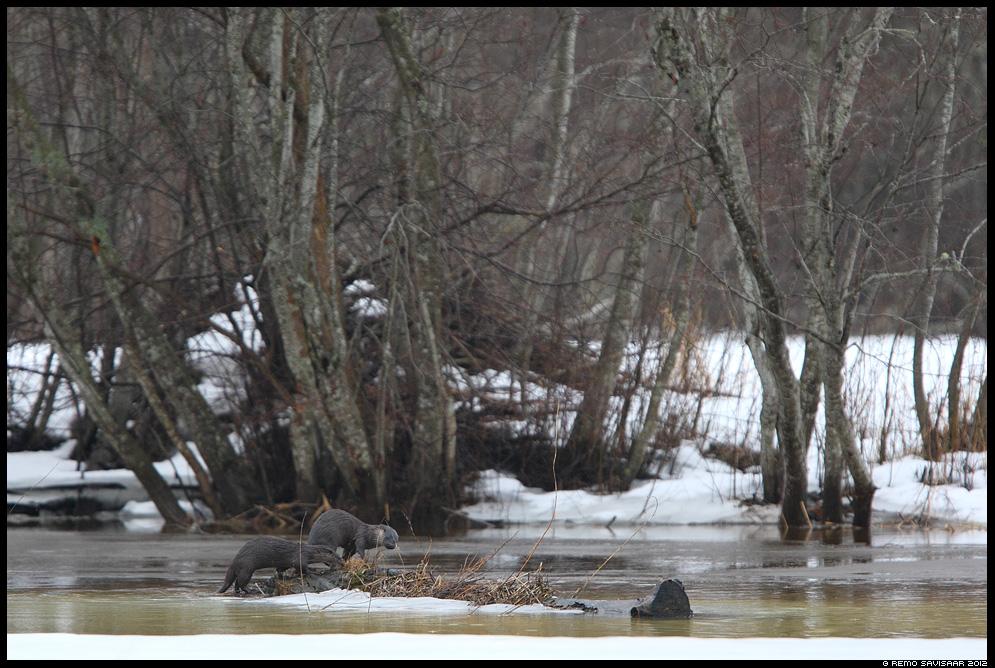 Saarmas, Otter, Lutra lutra, saarmad, otters, vesi, jõgi, water, river, spring, kevad