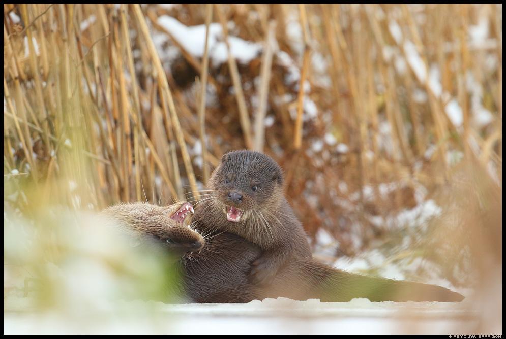 Saarmas, Otter, Lutra lutra Remo Savisaar Eesti loodus Estonian Estonia Baltic nature wildlife photography photo blog loodusfotod loodusfoto looduspilt looduspildid