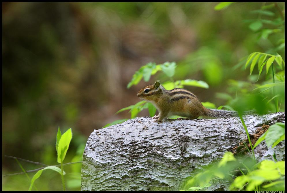 Siberi vöötorav, Siberian Chipmunk, Tamias Sibiricus Siberia, Russia Remo Savisaar nature wildlife photography photo blog loodusfotod loodusfoto looduspilt looduspildid