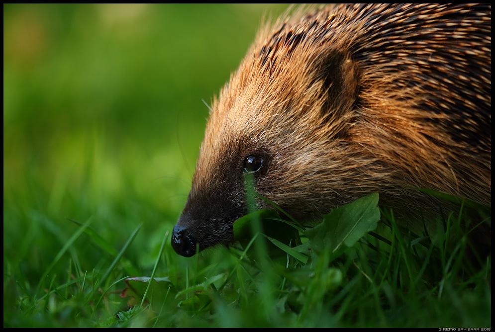 Siil, Hedgehog, Erinaceus europaeus Remo Savisaar Eesti loodus Estonian Estonia Baltic nature wildlife photography photo blog loodusfotod loodusfoto looduspilt looduspildid
