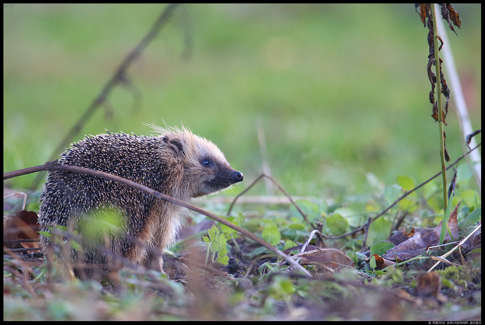 Siil, Hedgehog, Erinaceus europaeus  Remo Savisaar Eesti loodus Estonian Estonia Baltic nature wildlife photography photo blog loodusfotod loodusfoto looduspilt looduspildid