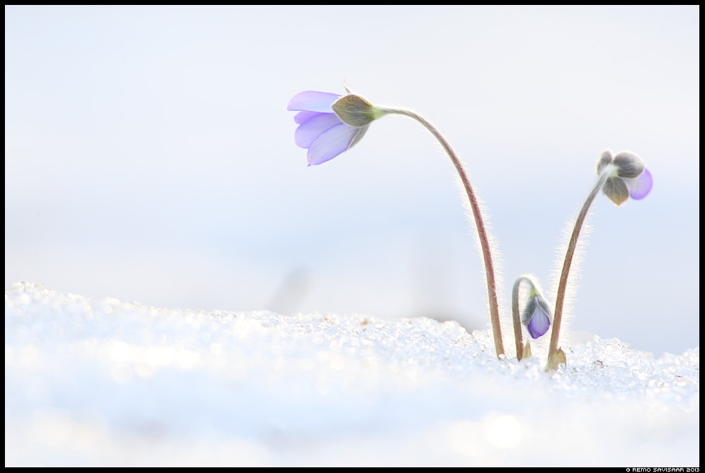 Sinilill, Hepatica flower, Hepatica nobilis Spring kevad lumi Remo Savisaar Eesti loodus Estonian Estonia Baltic nature wildlife photography photo blog loodusfotod loodusfoto looduspilt looduspildid