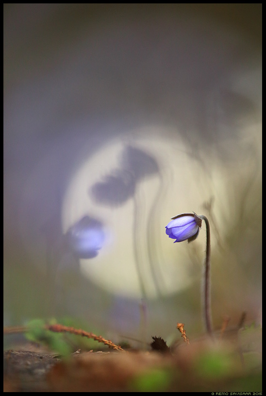 Sinilill, Hepatica flower, Hepatica nobilis Üksik, Lonely Remo Savisaar Eesti loodus  Estonian Estonia Baltic nature wildlife photography photo blog loodusfotod loodusfoto looduspilt looduspildid