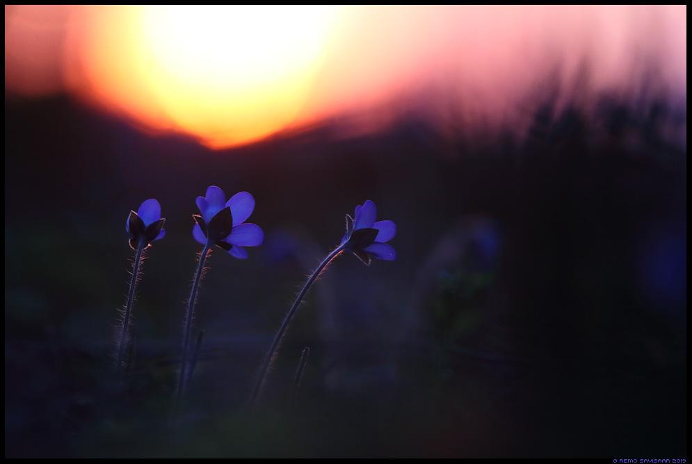 Sinilill, Hepatica flower, Hepatica nobilis  Remo Savisaar Eesti loodus Estonian Estonia Baltic nature wildlife photography photo blog loodusfotod loodusfoto looduspilt looduspildid