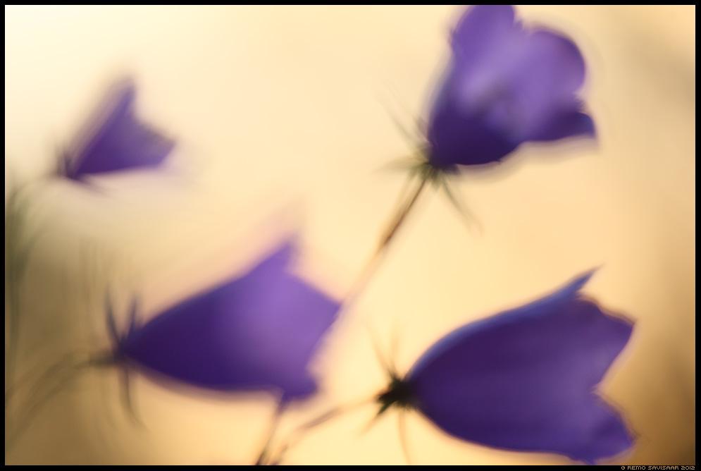 Suureõieline kellukas, Peach-leaved bellflower, Campanula persicifolia, lill, lilled, flowers
