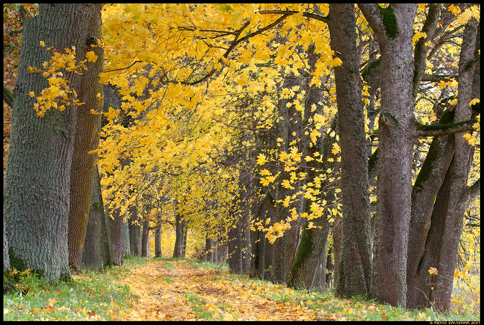 Lehekuld, Golden leaves allee tee road alley sügis autumn fall Remo Savisaar Eesti loodus  Estonian Estonia Baltic nature wildlife photography photo blog loodusfotod loodusfoto looduspilt looduspildid