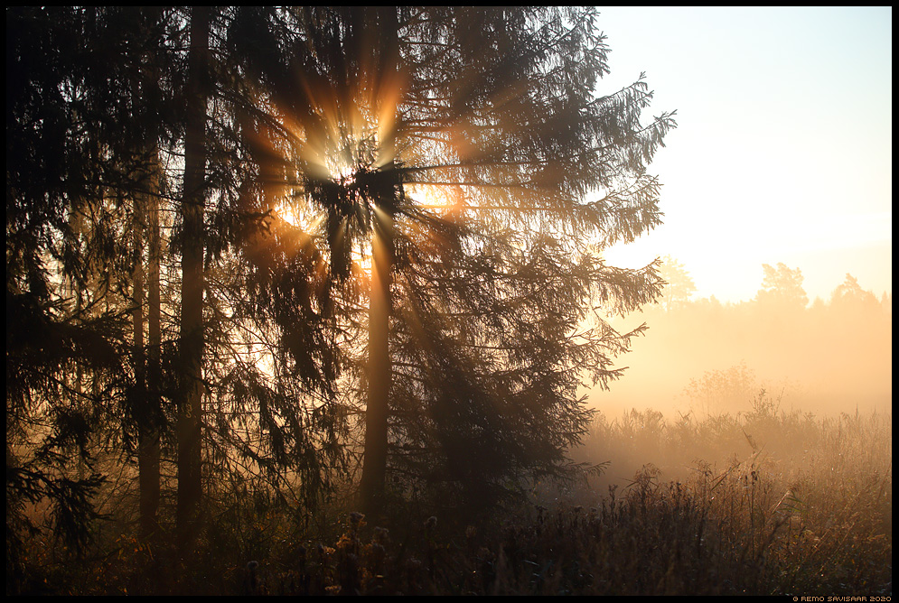 kuusk fir spruce tree forest mets Remo Savisaar Eesti loodus  Estonian Estonia Baltic nature wildlife photography photo blog loodusfotod loodusfoto looduspilt looduspildid