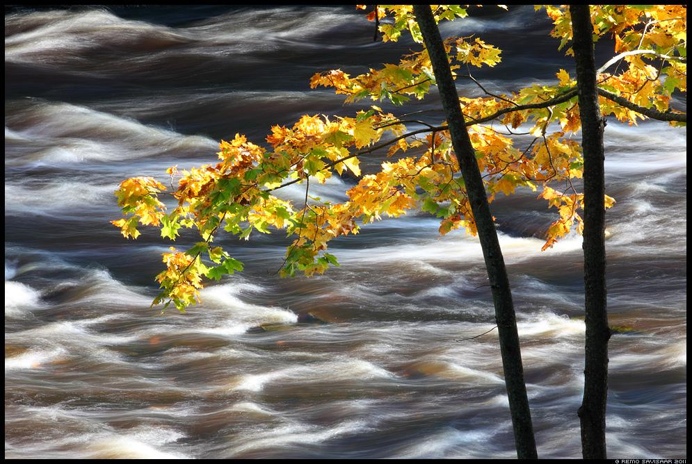 Kiire sügis, Fast autumn, sügisvärvid, jõgi, river, jõevool, vesi, puud, vaher, vahtrapuu, mapple