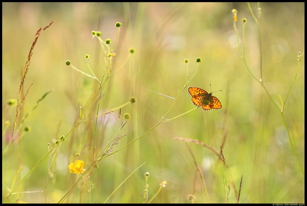 Täpik Fritillary liblikas butterfly Remo Savisaar Eesti loodus  Estonian Estonia Baltic nature wildlife photography photo blog loodusfotod loodusfoto looduspilt looduspildid
