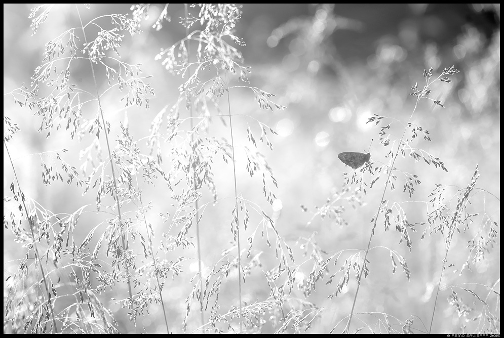 Täpik Fritillary liblikas butterfly minimalism minimalistic mustvalge bw suvi heinamaa summer meadow Remo Savisaar Eesti loodus  Estonian Estonia Baltic nature wildlife photography photo blog loodusfotod loodusfoto looduspilt looduspildid