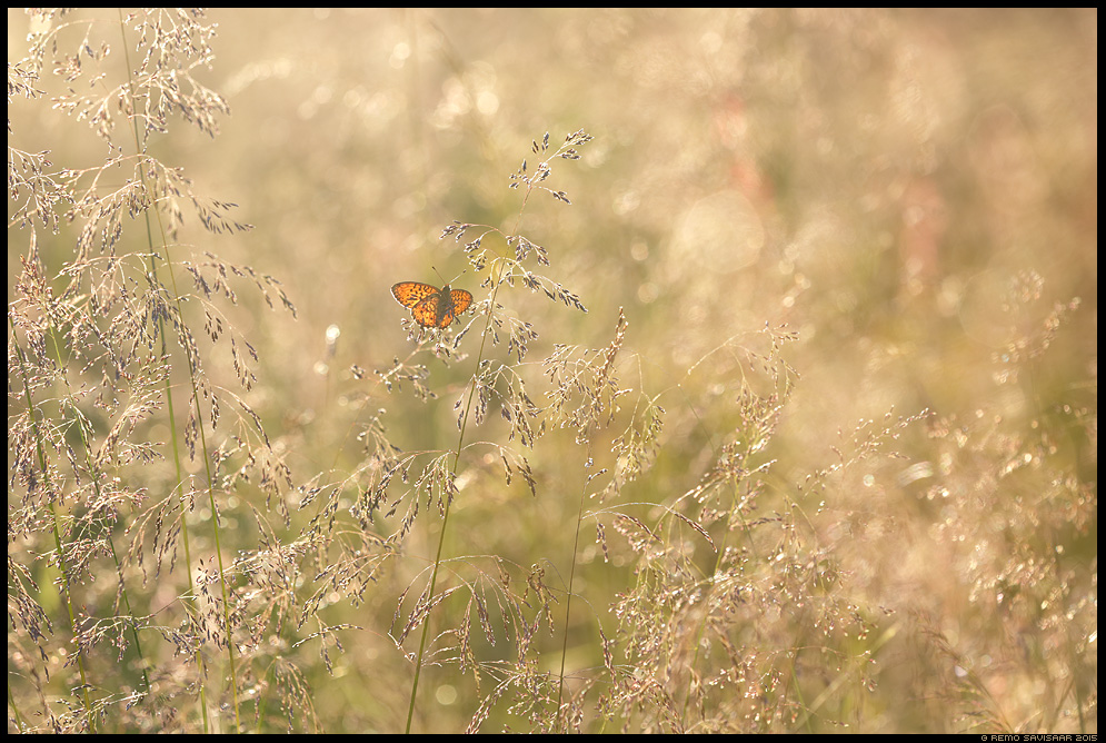 Täpik Fritillary liblikas butterfly minimalism minimalistic suvi heinamaa summer meadow Remo Savisaar Eesti loodus  Estonian Estonia Baltic nature wildlife photography photo blog loodusfotod loodusfoto looduspilt looduspildid