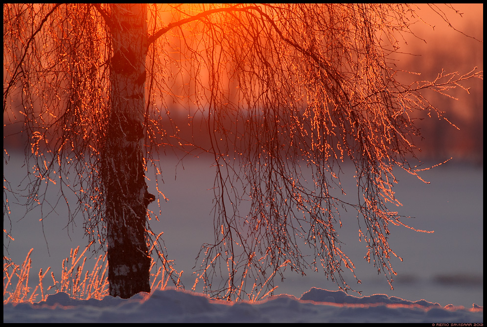 Talvevalgus, Winter magic, härmatis, sunset, päikeseloojang, härmas, õhtupuna, frost, frosty, kask, birch tree