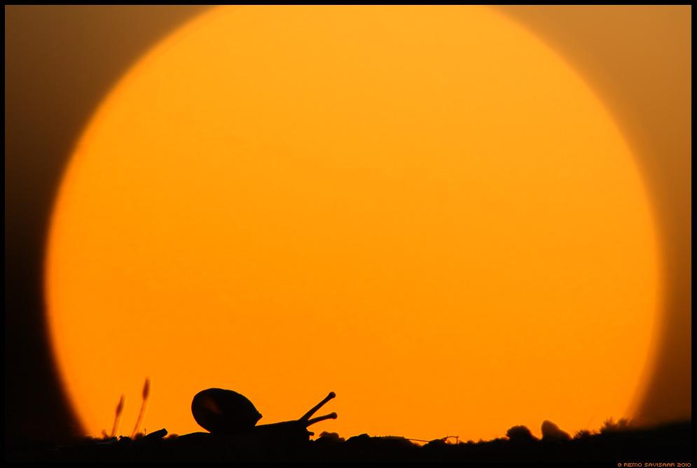 Väike tigu, Little snail, sunset, päikeseloojang, päike, sun