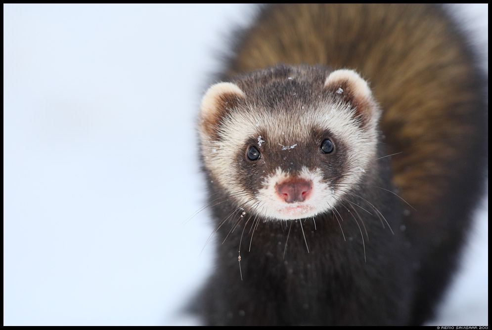 Tuhkur, metstuhkur tõhk European Polecat, Mustela putorius talv Remo Savisaar Eesti loodus  Estonian Estonia Baltic nature wildlife photography photo blog loodusfotod loodusfoto looduspilt looduspildid