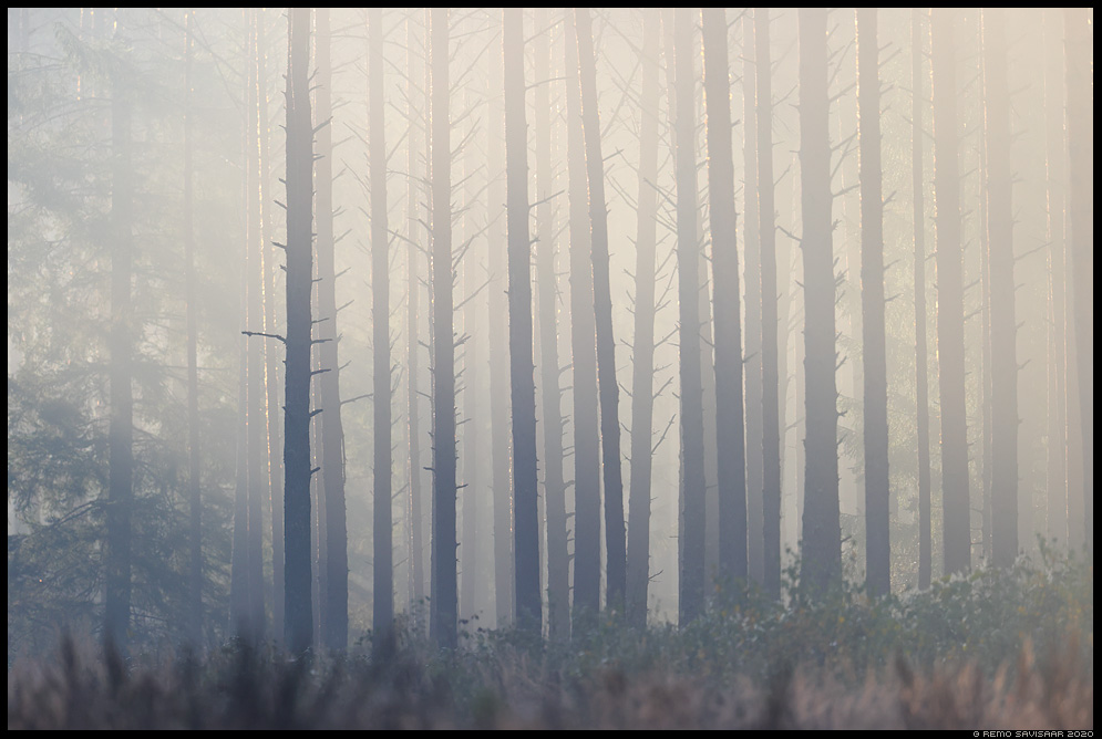 Varahommikune metsalumm, Early morning forest charm  Remo Savisaar Eesti loodus  Estonian Estonia Baltic nature wildlife photography photo blog loodusfotod loodusfoto looduspilt looduspildid