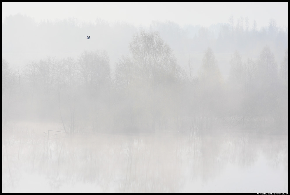 kajakas gull Remo Savisaar Eesti loodus  Estonian Estonia Baltic nature wildlife photography photo blog loodusfotod loodusfoto looduspilt looduspildid