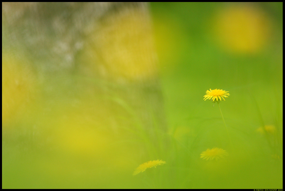 Võilill, Dandelion, Taraxacum officinale, kevad, spring, rohelus, värskus, värske, kollane