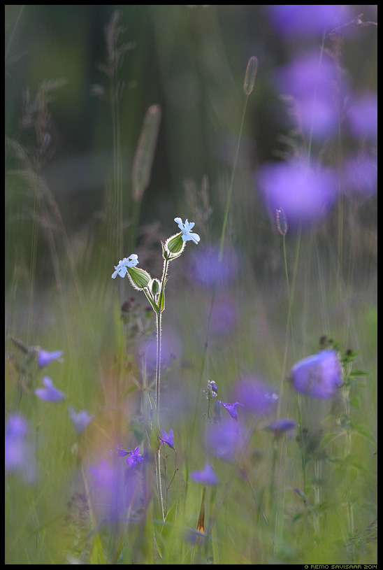 Valge pusurohi, Evening lychnis, Silene pratensis Remo Savisaar Eesti loodus  Estonian Estonia Baltic nature wildlife photography photo blog loodusfotod loodusfoto looduspilt looduspildid