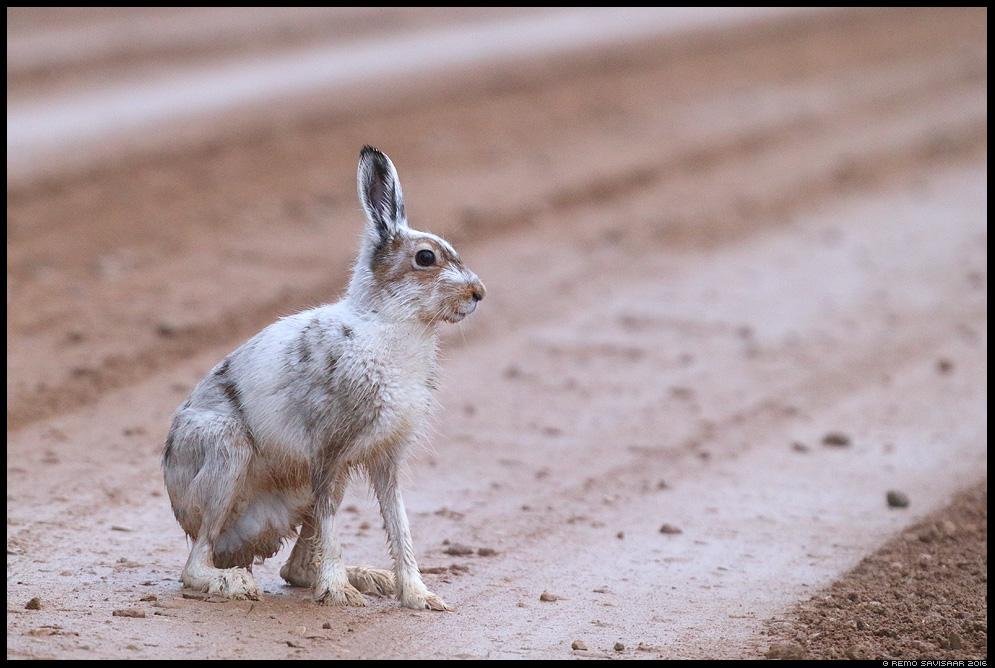 Valgejänes, Arctic hare, Lepus timidus  Remo Savisaar Eesti loodus Estonian Estonia Baltic nature wildlife photography photo blog loodusfotod loodusfoto looduspilt looduspildid