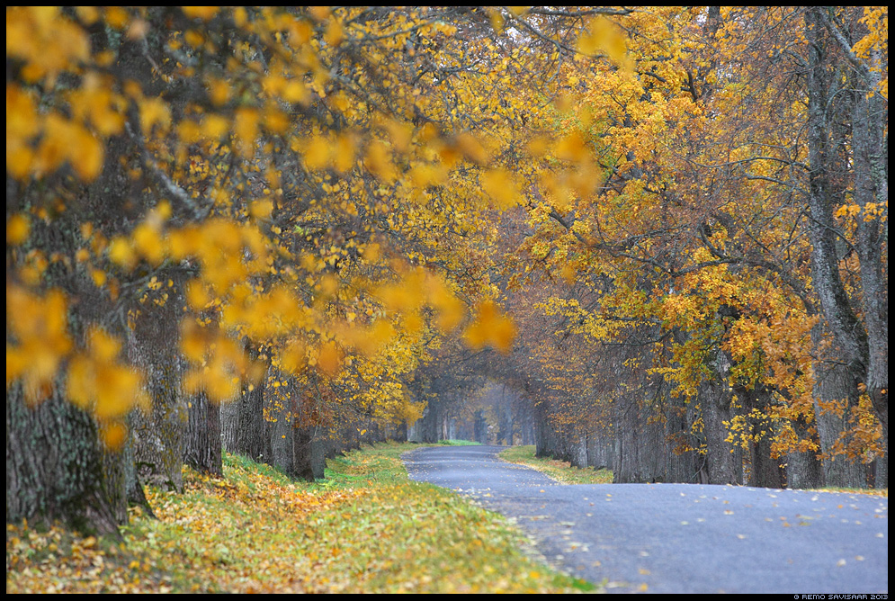 Kaunis sügis, Beautiful autumn sügis allee ally sõidutee road Remo Savisaar Eesti loodus Estonian Estonia Baltic nature wildlife photography photo blog loodusfotod loodusfoto looduspilt vasula looduspildid