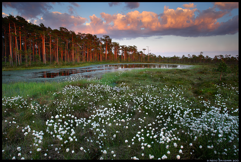 Tupp-villpea, Cotton Grass, Eriophorum vaginatum 